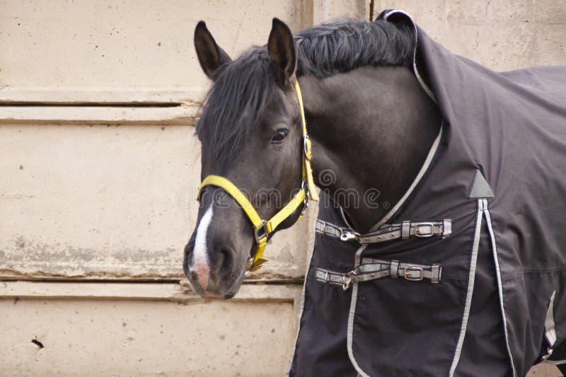 Ворона лошади в одеяле на серой бетонной стене стоковое изображение rf