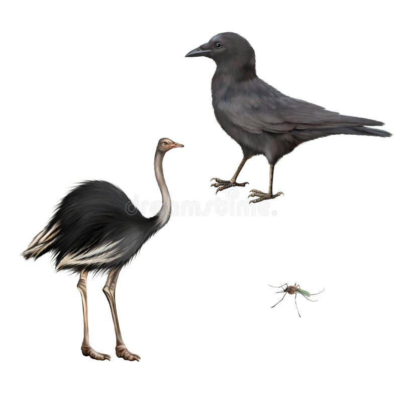 Ворона мяса, corone Corvus, изолированный страус стоковое фото