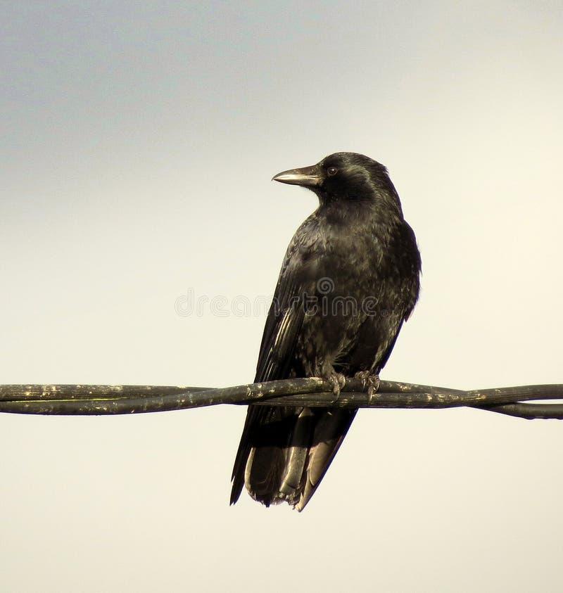 Ворона на проводе стоковые фото