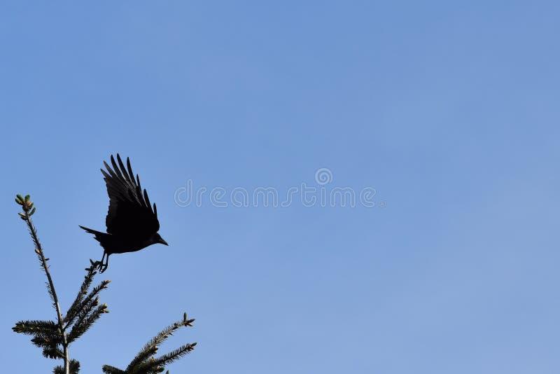 Ворона принимает  стоковая фотография