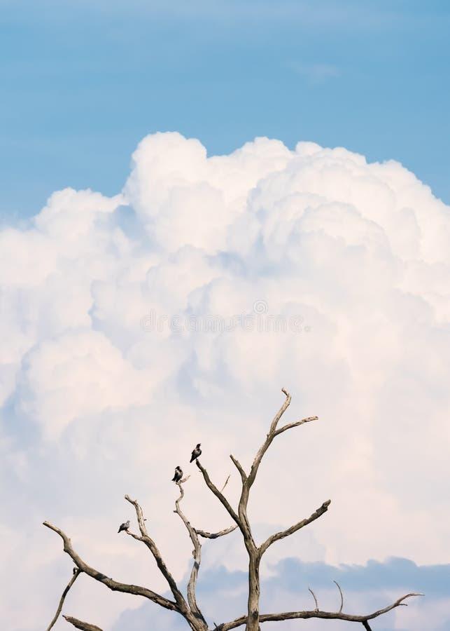 3 ворона сидят на чуть-чуть дереве стоковые фото