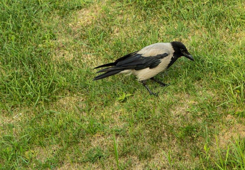 Ворона сидя в траве в парке стоковая фотография