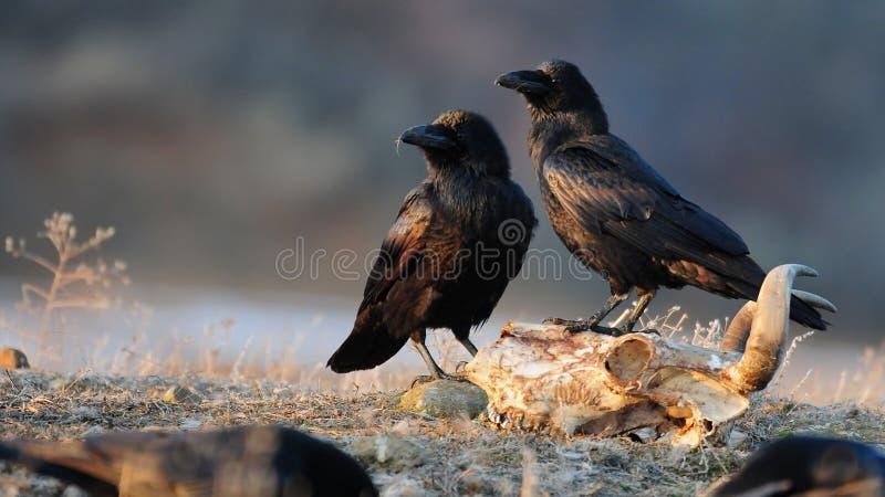 2 ворона сидя на черепе и взгляде к стороне стоковое изображение