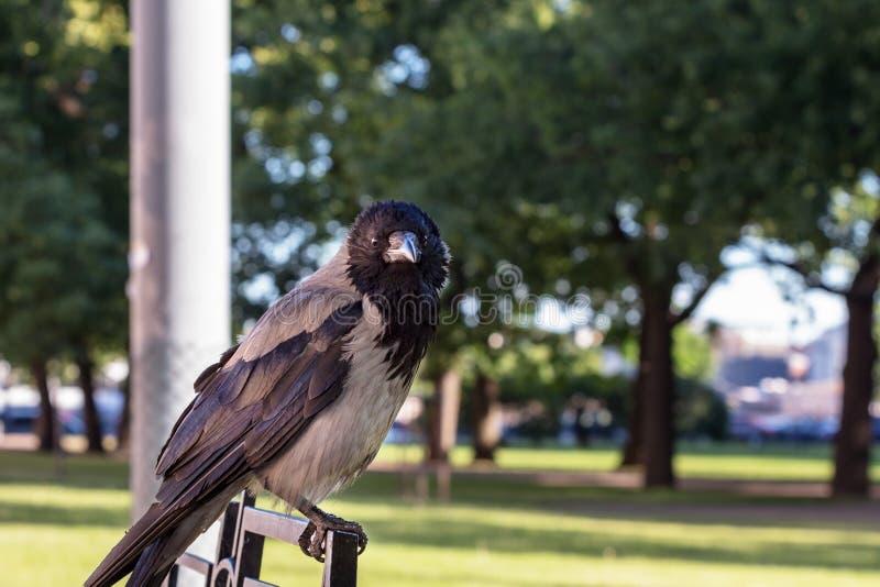 Ворона смотря объектив стоковое фото