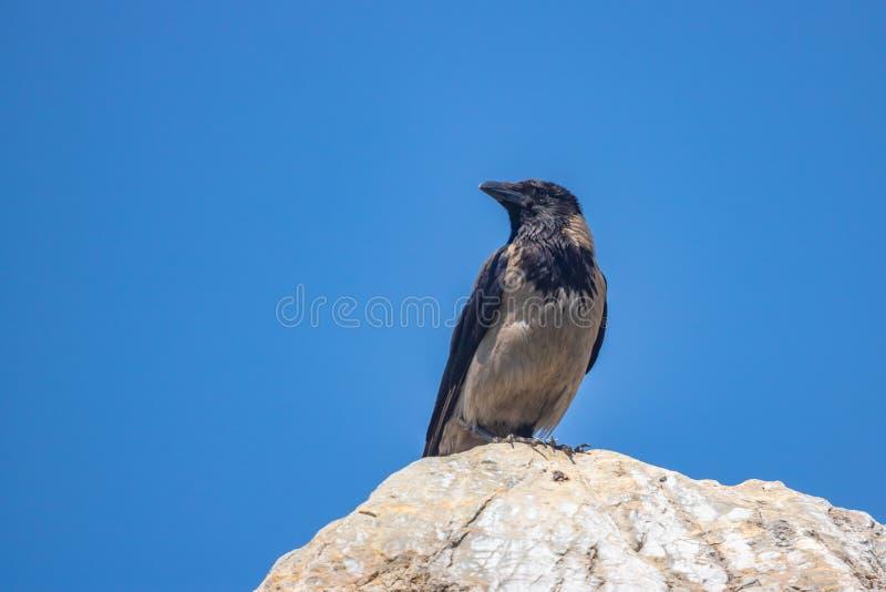 Ворона стоит на утесе против голубого неба стоковое изображение
