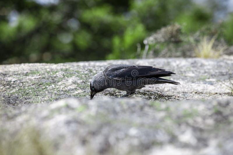 Ворона с голубыми глазами на утесе стоковое изображение