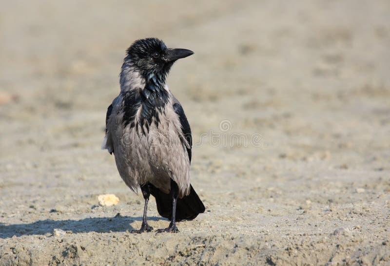 ворона с капюшоном стоковые изображения