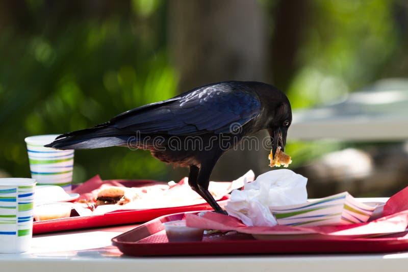 Ворона с остаток обедом стоковые фотографии rf