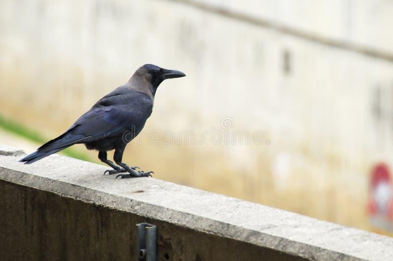 ворона стоковое фото rf