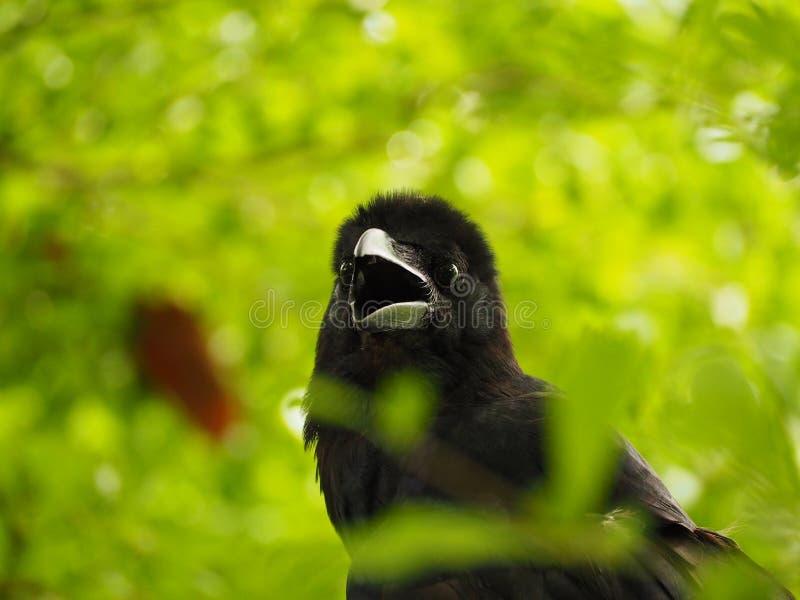 Ворона стоковое изображение