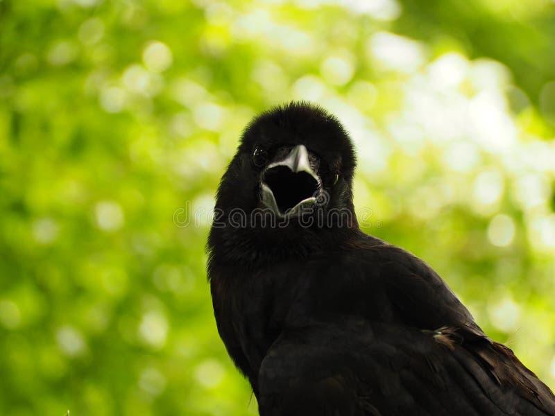 Ворона стоковые фото