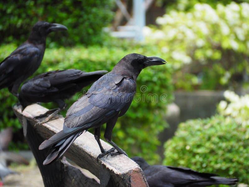 Ворона стоковое изображение rf