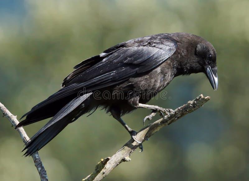 Ворона - branchyrhynchos Corvus стоковая фотография
