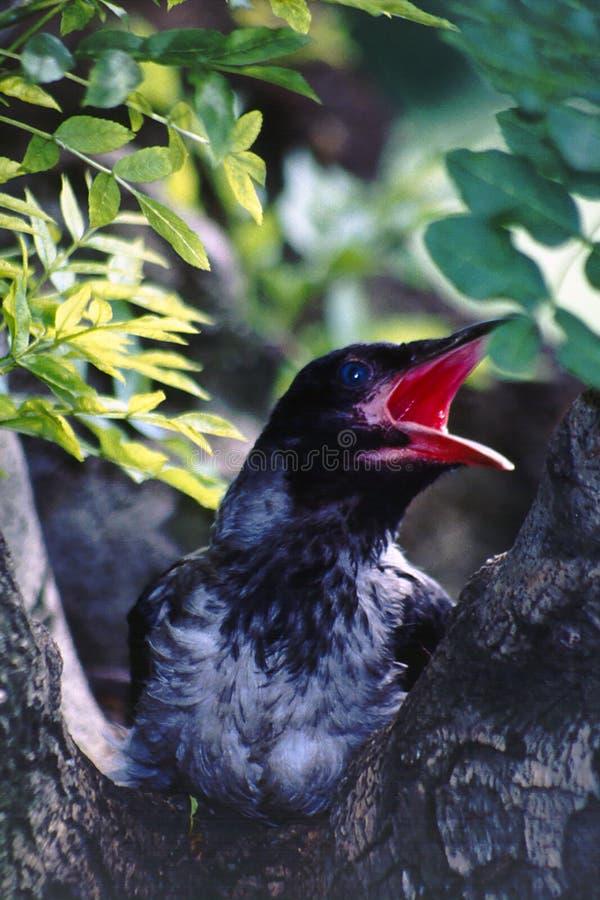 ворона Corvus Corax с капюшоном Стоковая Фотография RF