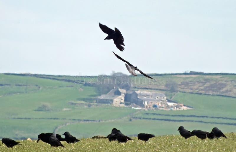 2 вороны в конце вверх по летанию против предпосылки сельской местности полей горного склона Йоркшира и каменных домов со смешанн стоковые изображения rf