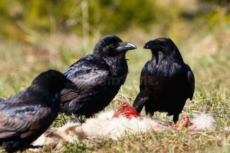 Вороны есть их добычу стоковое изображение