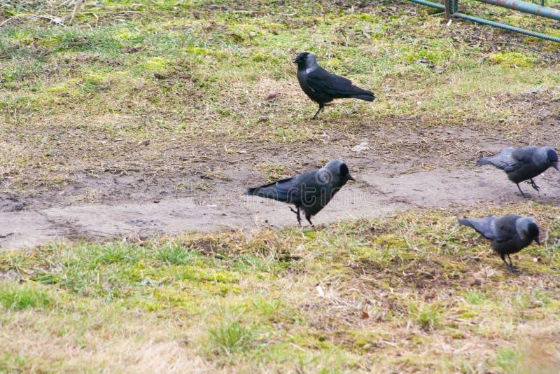 Вороны на траве ищут еда стоковое фото