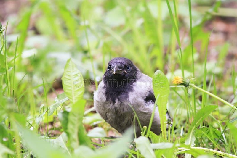вороны смешного цыпленока серые сидя в зеленой траве стоковые фотографии rf