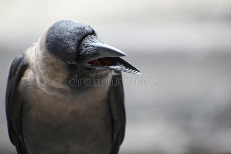 Вороны черные птицы известные за их разум и приспособляемостьь стоковые фото