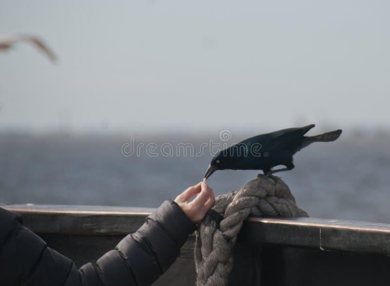 Ворон есть из ее руки стоковая фотография