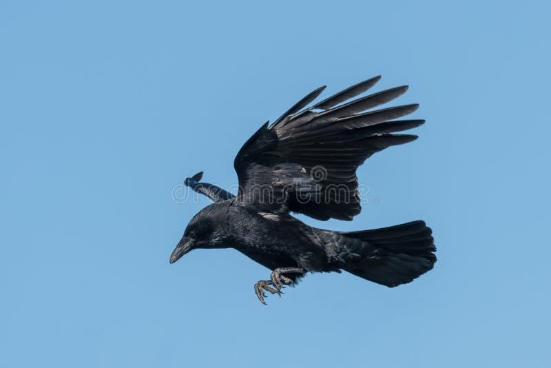 Ворон летая на посадке перед голубым небом стоковое фото rf