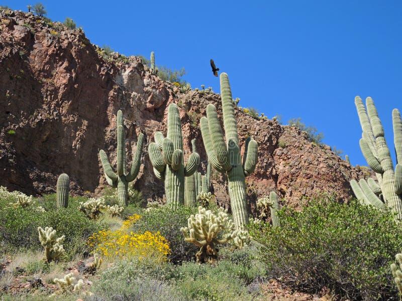 Ворон над стойкой Saguaro стоковая фотография rf