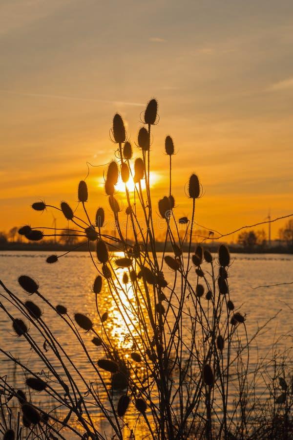 Ворсянки загоренные заходящим солнцем стоковое фото