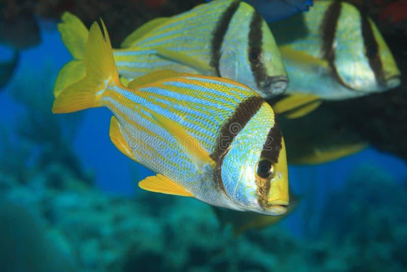 Ворчанье Porkfish стоковые фото