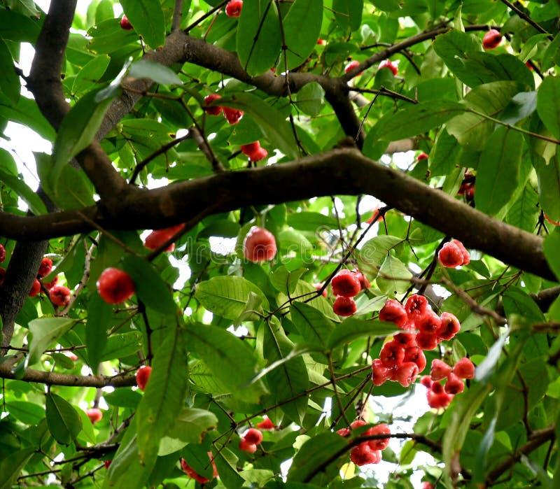 Воск Яблоко приносит плоды на дереве стоковые изображения rf