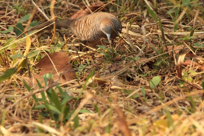 Востоковедный голубь черепахи стоковое фото rf