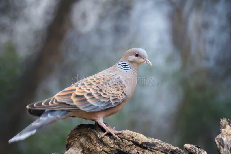 Востоковедный голубь черепахи стоковые фотографии rf