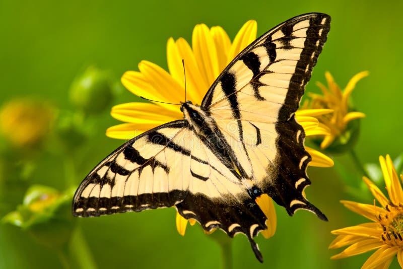 Восточная бабочка Swallowtail тигра стоковые фотографии rf