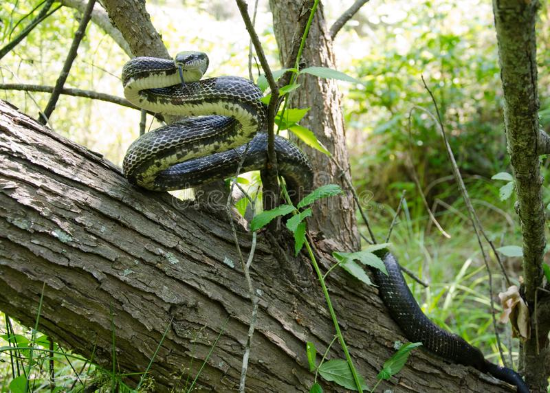 Восточная змейка черной крысы в свернутом спиралью дереве стоковые изображения rf