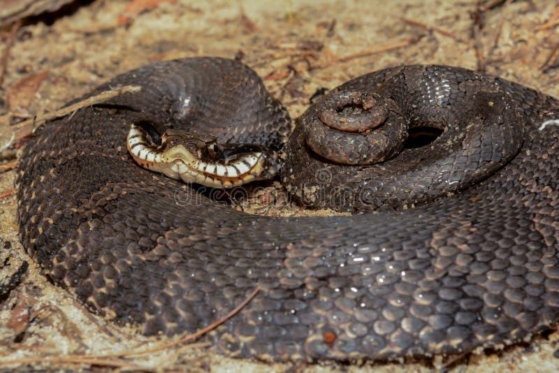 Восточная змейка Hognose стоковые фотографии rf