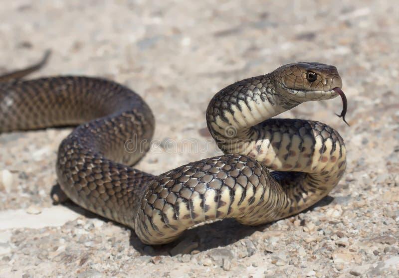 Восточная коричневая змейка (textilis Pseudonaja) стоковое изображение rf