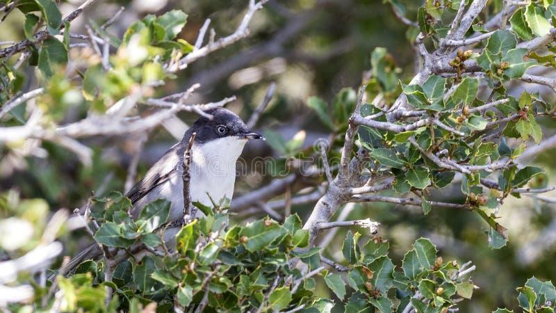 Восточная певчая птица Orphean стоковые изображения rf