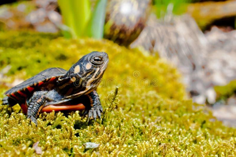 Восточная покрашенная черепаха стоковое изображение