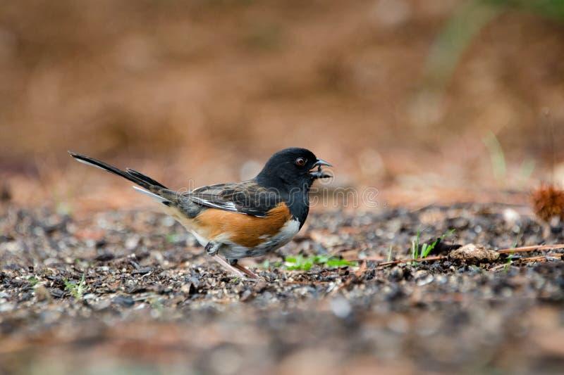 Восточная птица Towhee есть семена подсолнуха черного смазочного минерального масла, Афины, Georgia стоковые фото