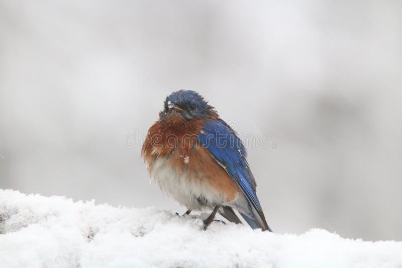 Восточная синяя птица в ледистом шторме зимы стоковые фотографии rf