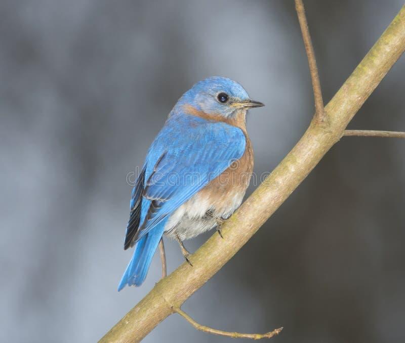 Восточная синяя птица на ветви дерева стоковое фото