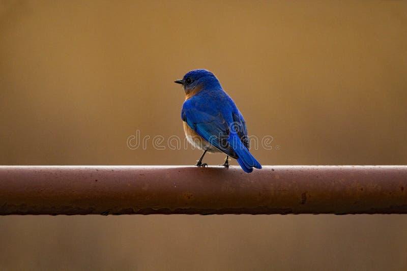 Восточная синяя птица на стробе стоковое изображение