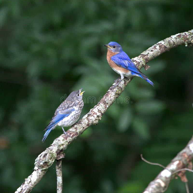 Восточная синяя птица подавая свои детеныши стоковые изображения rf