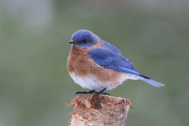 Восточная синяя птица садясь на насест на ветви стоковое фото