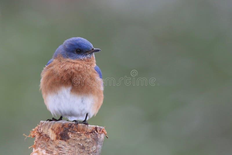 Восточная синяя птица садясь на насест на столбе стоковые фото