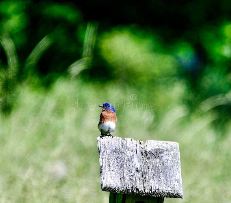 Восточная синяя птица #1 стоковое изображение