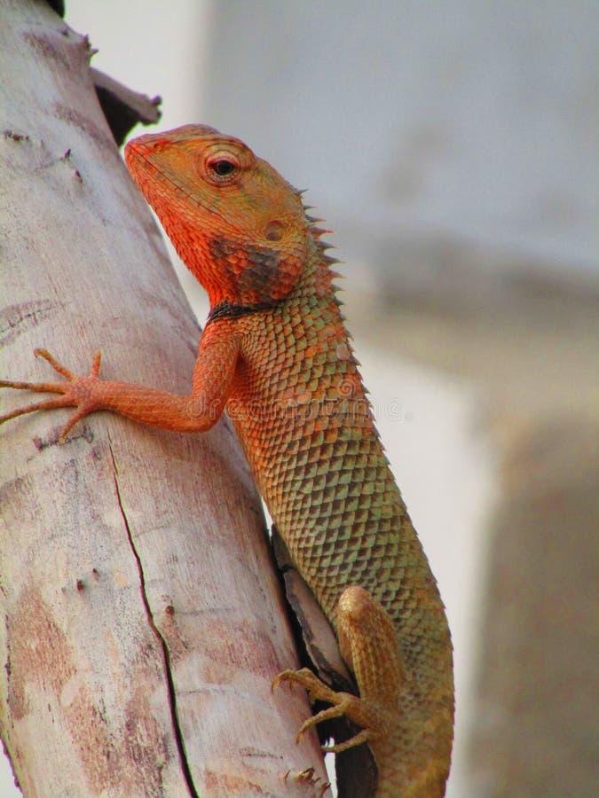 Восточная ящерица сада, восточная ящерица сада, bloodsucker или переменчивая ящерица Calotes versicolor ящерица agamid стоковое изображение