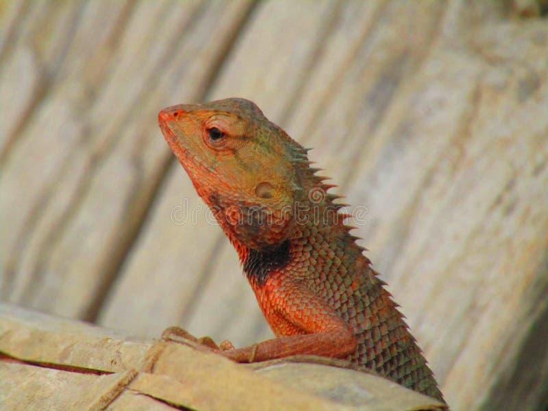 Восточная ящерица сада, восточная ящерица сада, bloodsucker или переменчивая ящерица Calotes versicolor ящерица agamid стоковая фотография