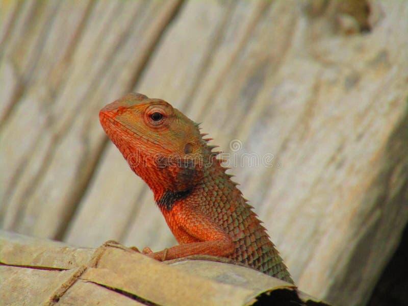 Восточная ящерица сада, восточная ящерица сада, bloodsucker или переменчивая ящерица Calotes versicolor ящерица agamid стоковое фото rf