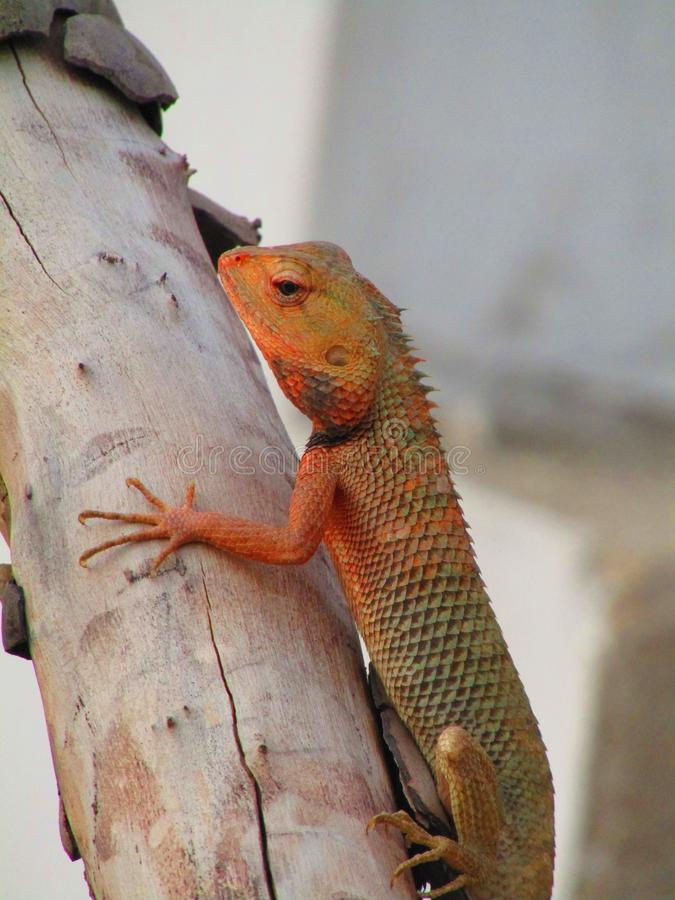 Восточная ящерица сада, восточная ящерица сада, bloodsucker или переменчивая ящерица Calotes versicolor ящерица agamid стоковое фото