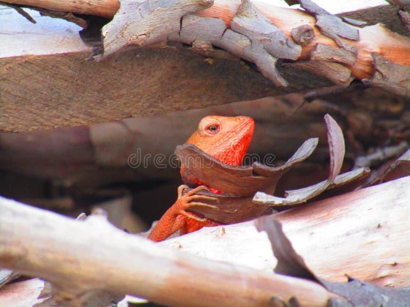 Восточная ящерица сада, восточная ящерица сада, bloodsucker или переменчивая ящерица Calotes versicolor ящерица agamid стоковые изображения rf